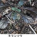 キランソウ 1/22 紫色の幼葉