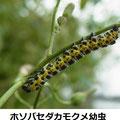 ホソバセダカモクメ幼虫 9/29 Km