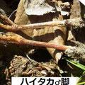 ハイタカ♂脚 11/25 Km 落鳥個体から拾得