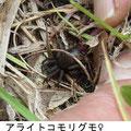 アライトコモリグモ  5/9 Km  卵嚢を持つ