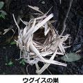 ウグイスの巣 6/28 地上に落下