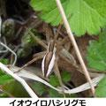 イオウイロハシリグモ 3/29 体の両側に白線を持つタイプ