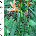 キツネノカミソリ 7/24 例年より2週間早く咲く