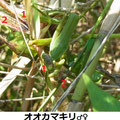 オオカマキリ♂♀ 10/10 1♀が2♂を食べる