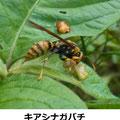 キアシナガバチ 5/11 幼虫で肉団子を作る