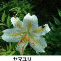 ヤマユリ 7/24  神奈川県の花