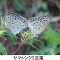ヤマトシジミ交尾 9/2