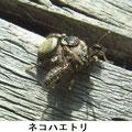 ネコハエトリ 3/16 蜂を採る