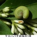 クロハバチ幼虫の1種    5/23  Km イボタにつく