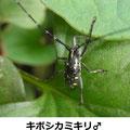 キボシカミキリ♂ 8/7