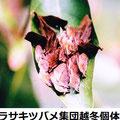 ムラサキツバメ集団越冬個体 1月 茅ヶ崎市M氏提供