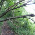 写真3 谷戸横断道右岸で倒れたコナラ