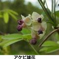 アケビ雄花 4/13 Km