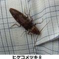 ヒゲコメツキ♀ 5/26