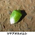 ツヤアオカメムシ 成虫越冬 2/10 Km