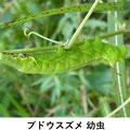 ブドウスズメ幼虫     ヤブガラシにつく 8/1 Km