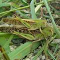 トノサマバッタ♂♀ ♀が緑色型  8/13 Km