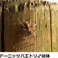 デーニッツハエトリ♂幼体 4/20