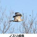 ノスリ成鳥 1/13 鎌倉市N
