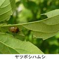 ヤツボシハムシ 5/4 Km エノキの葉を食べる