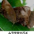ムラサキツバメ 11/19 越冬個体 周囲に他に4羽飛び回る