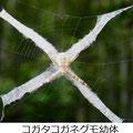 コガタコガネグモ幼体 7/15 十字の隠れ帯の中にいる