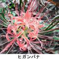 ヒガンバナ 9/20 谷戸内通路脇で単独で咲く