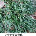 ノウサギの食痕 2/19 ジャノヒゲの葉の先端が食べられている