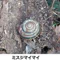 ミスジマイマイ越冬個体 1/13 枯木伐採時