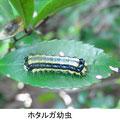 ホタルガ幼虫 5/25 Km