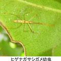 ヒゲナガサシガメ幼虫 3/4 Km