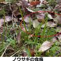 ノウサギの食痕 3/6 葉の先端が食いちぎられている