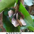 ムラサキツバメ 1/18 Km キヅタの葉で越冬中