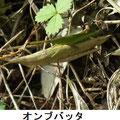 オンブバッタ 10/22 ♀は褐色系