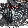 アカボシゴマダラ 9/18 落蝶