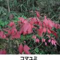 コマユミ   11/27 谷戸内紅一点  紅葉が見事