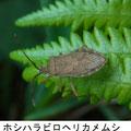 ホシハラビロヘリカメムシ 4/29