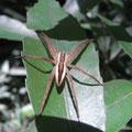 イオウイロハシリグモ 中央を濃い褐色、側方に縦走する白い帯状斑紋を持つ型