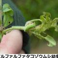 アルファルファタコゾウムシ幼虫 3/26   Km  、ヤナズエンドウにつく