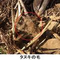 タヌキの毛 3/17 獣道上