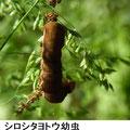 シロシタヨトウ幼虫 5/7