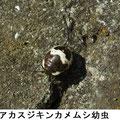 アカスジキンカメムシ幼虫 2/13