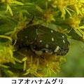 コアオハナムグリ 10/22 花粉を食べる
