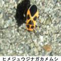 ヒメジュウジナガカメム 10/13