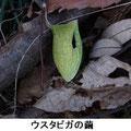 ウスタビガの繭 2/19 捕食の跡有