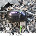 スジコガネ 10/31 地中に穴を掘る(産卵?)
