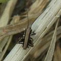 ヒメギス若齢幼虫  3/28  Km