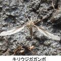キリウジガガンボ 3/18 湿った土に産卵中
