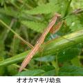 オオカマキリ幼虫 6/30 褐色型