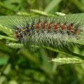 マイマイガ幼虫